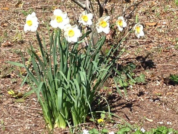 Jack Snipe - daffodil - white yellow variety in bloom - may 4th, 2014