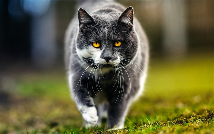 Download Wallpapers British Shorthair Cat Lawn Muzzle Domestic Cat Cats Gray Cat Yellow Eyes Cute Animals British Shorthair Besthqwallpapers Com Cute Cats And Dogs Cats Grey Cats