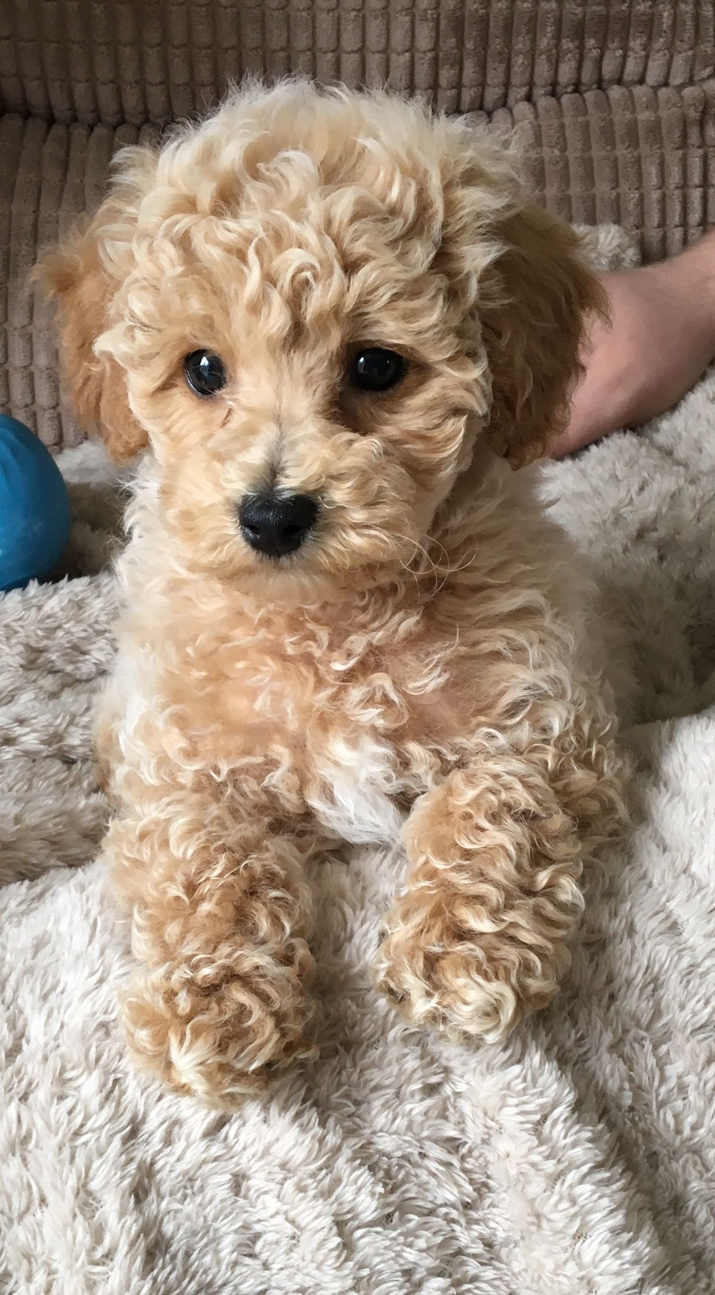 Toby Poochon Puppy Poochon Puppies Dog Spay Dog Friends