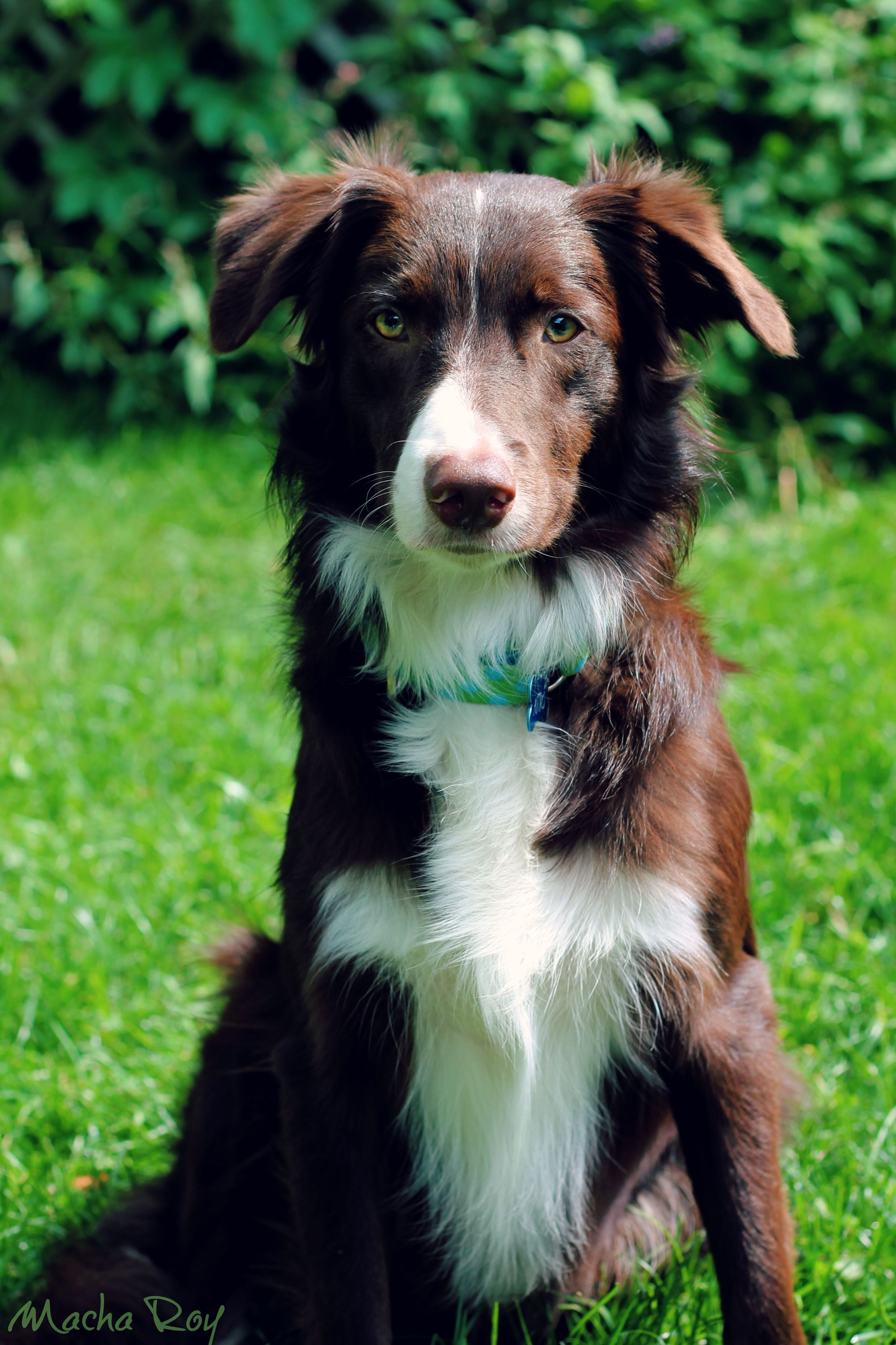 Border Collie Red And White Border Collie Collie Puppies Collie Dog