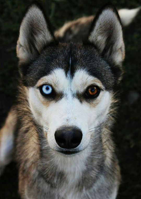 The Most Beautiful Husky | Cute Critters | Funny dogs ...