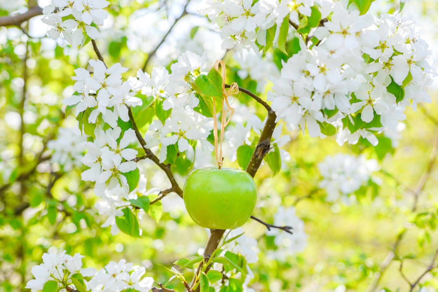 Apple in white flowers - OGQ Backgrounds HD