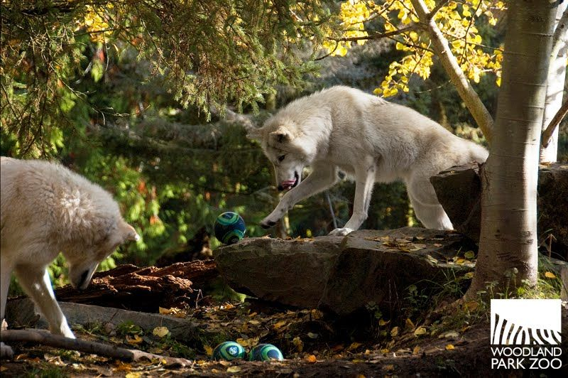 Wolves From Seattle S Woodland Park Zoo Playing Soccer Woodland Park Zoo Sounders Woodland Park