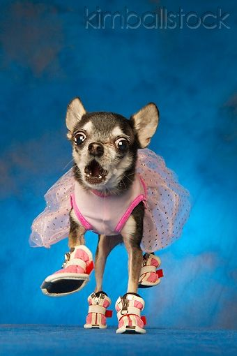 Humorous Black And White Chihuahua Wearing Pink Tutu And Shoes On