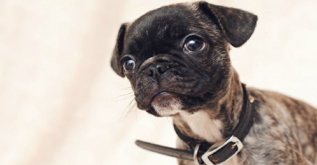15 Unreal Pug Cross Breeds You Ve Got To See To Believe Pug