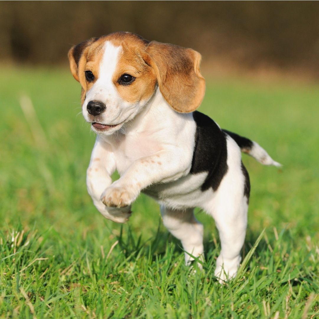 Beagle Puppy Jumping Beagle Dog Pocket Beagle