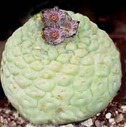Trichocaulon Cacti