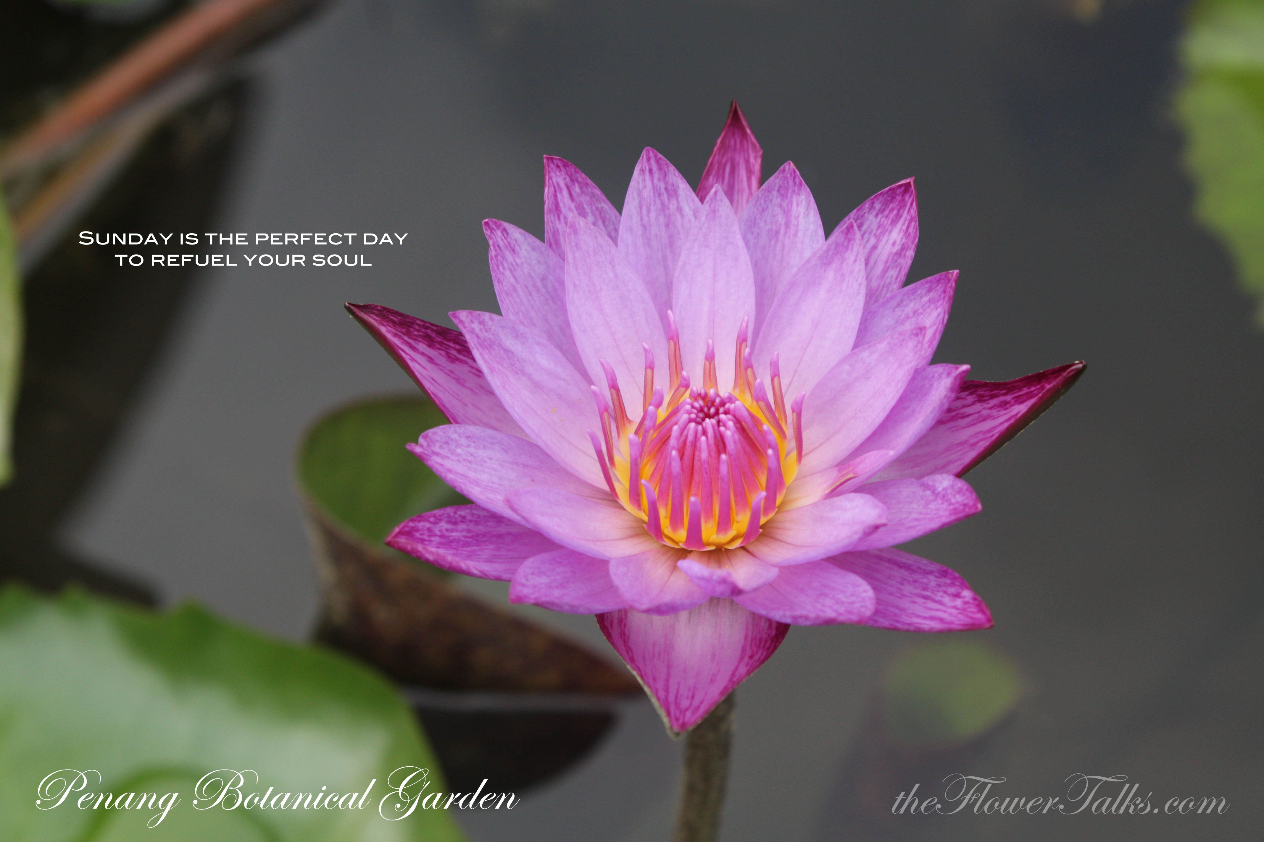 Sunday is a perfect day to refuel your soul Waterlily