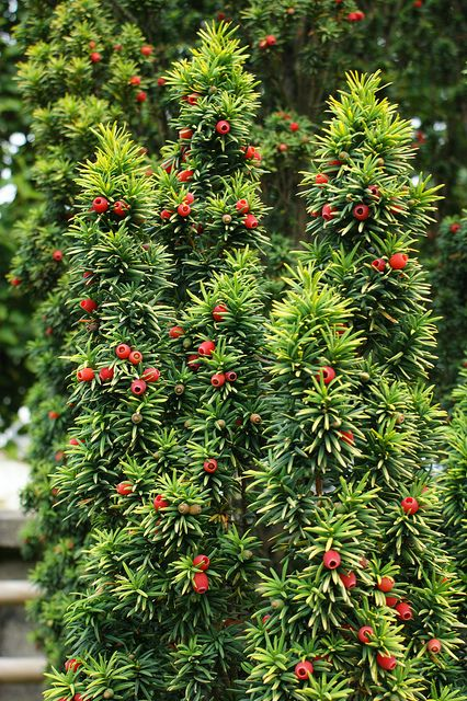 Taxus baccata 39 standishii 39 golden upright taxus taxus for Garden yew trees