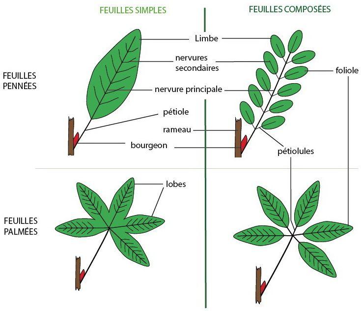 r sultat de recherche d 39 images pour les differentes feuilles plantes pinterest plantes. Black Bedroom Furniture Sets. Home Design Ideas
