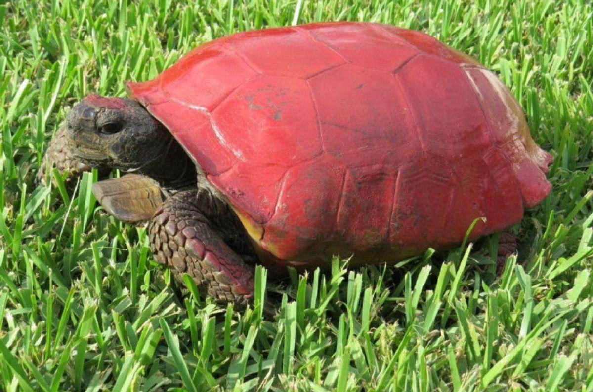 Warning turtles amp tortoises inc - Florida Wildlife Officials Please Stop Painting Turtles