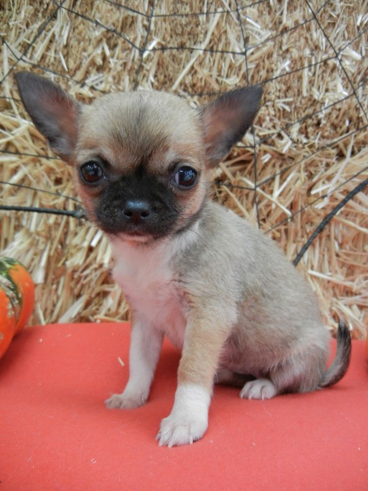 """Shih Tzu/Chihuahua """"ShiChi"""" puppy, female, born 08/21/11. For more information please contact Fairwood Pet Center 425-271-9344"""