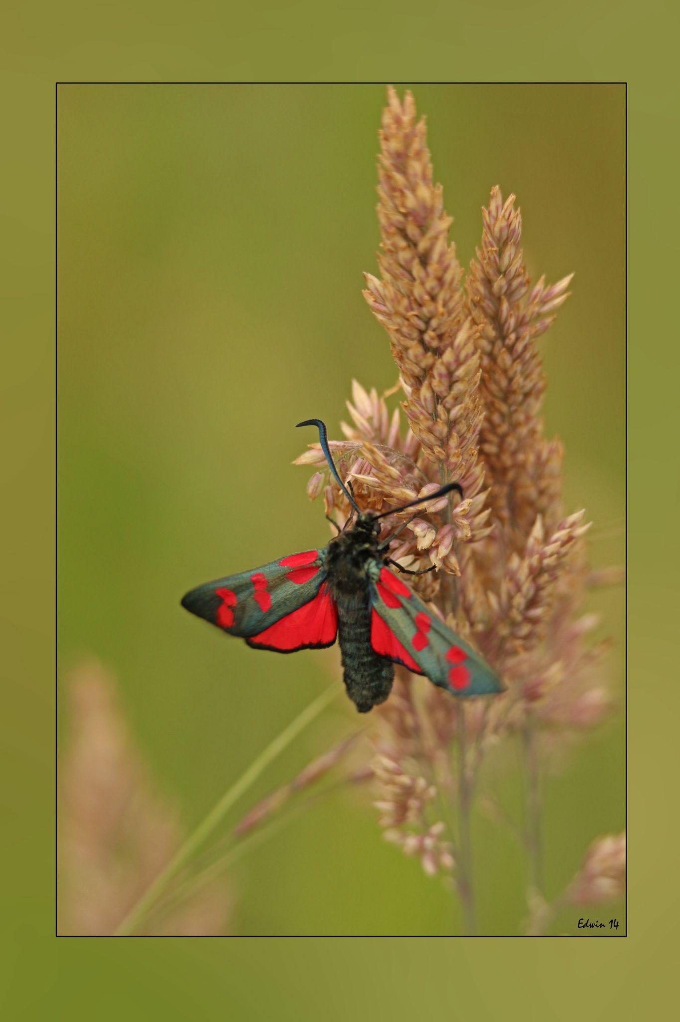 St Jansvlinder gefotografeerd in Ruïne, natuurmonumenten, door Edwin. Vliegtijd:eind mei tot begin augustus in een generatie. De vlinders bezoeken oa distels.