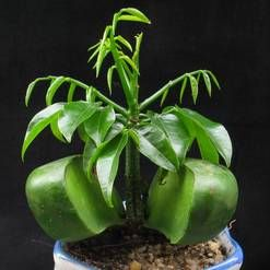 Queensland Black Bean Castanospermum Australe Green Plants
