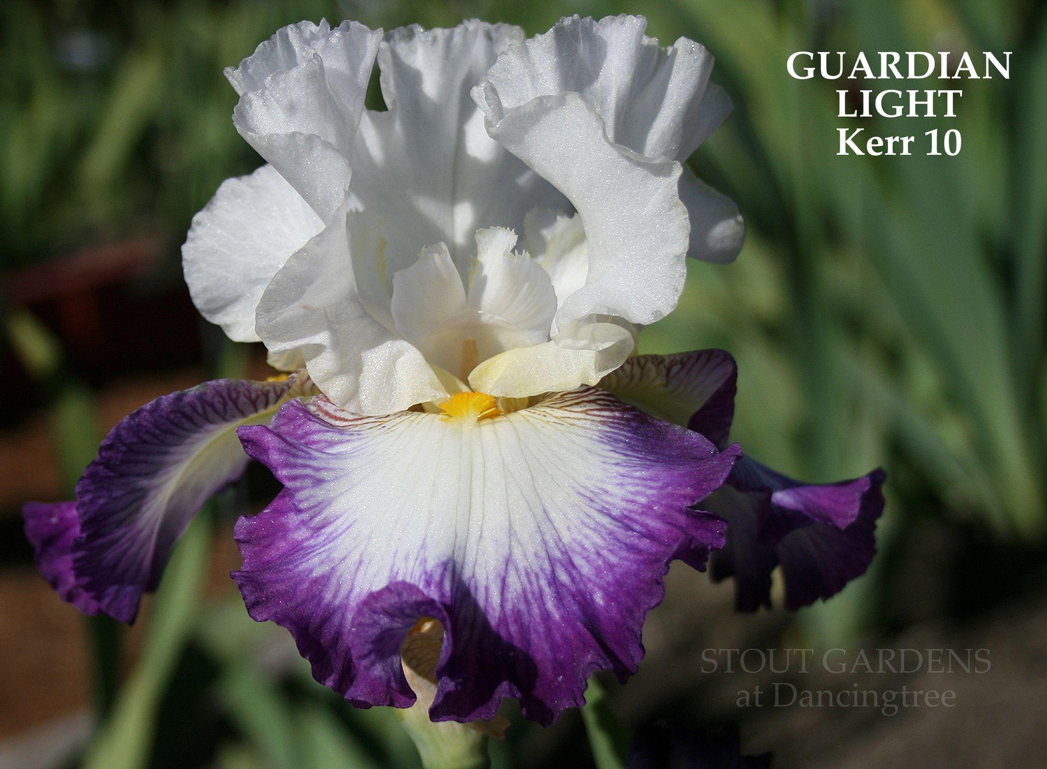 Iris guardian light iris flowers and iris flowers iris guardian light white irisiris flowersbearded izmirmasajfo