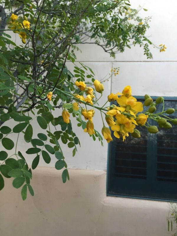 Free Plant Identification Patio Trees Tree With Yellow