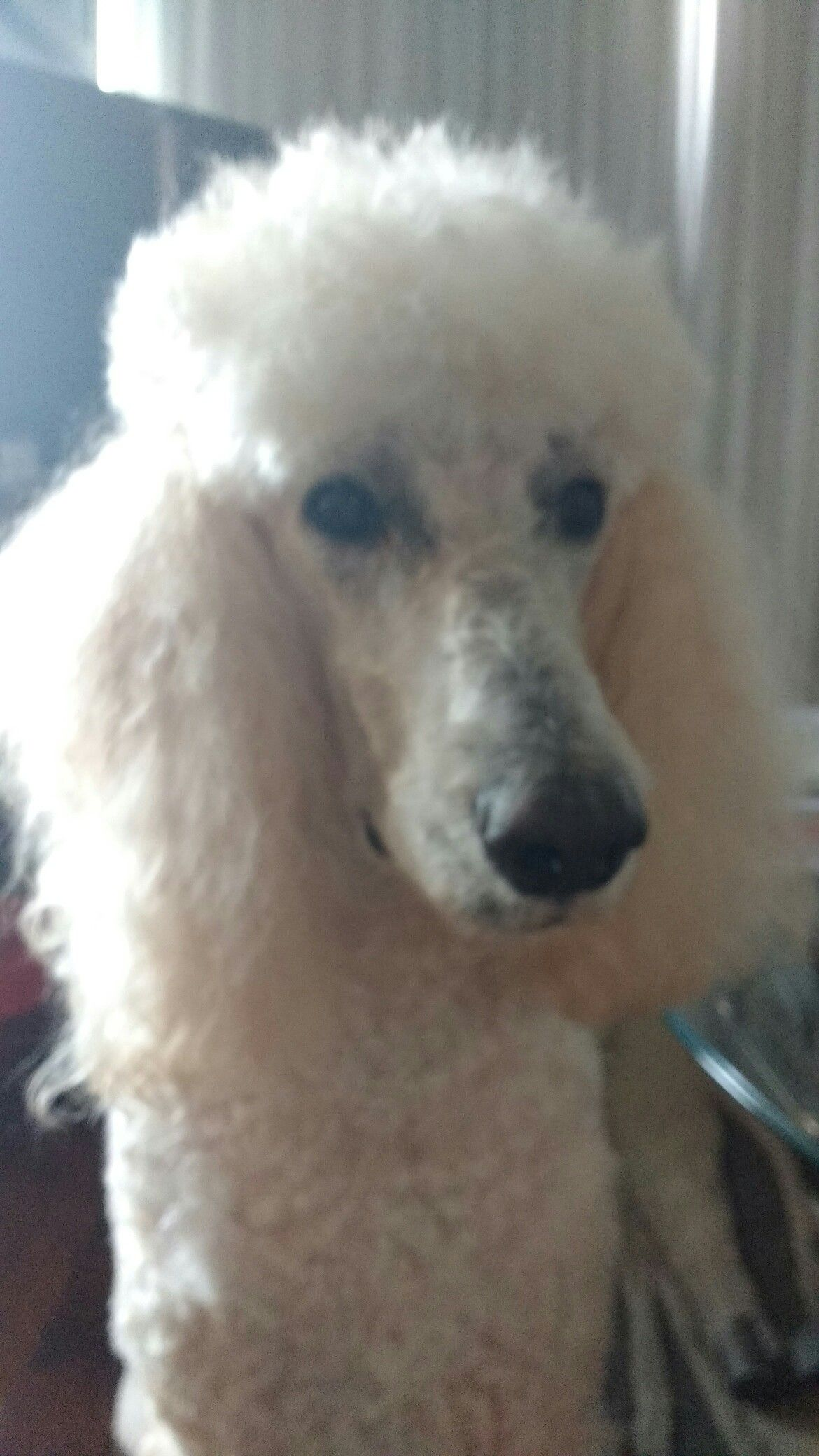Pin By A W Fitzgerald On Standard Poodles Poodle Dog Poodle