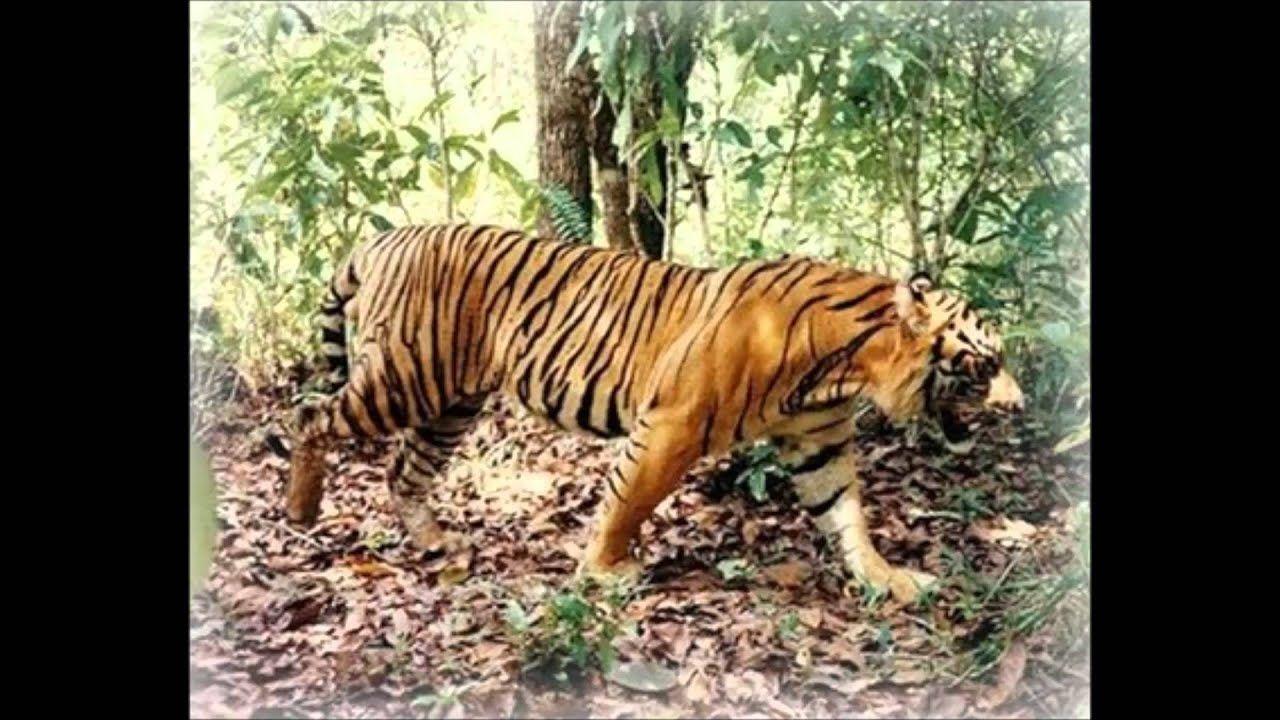 Bali Tiger Sumatran Tiger Pet Tiger Tiger Pictures