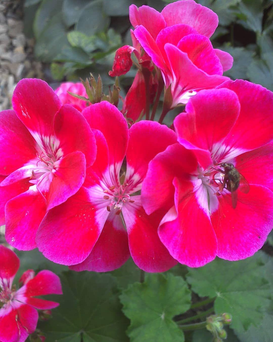 Pelargonia Flower Flowers Poland World Mojogrod Mojogrod Kwiat Garden Przyroda Fleur Kwiaty Pelargonia Plants Garden