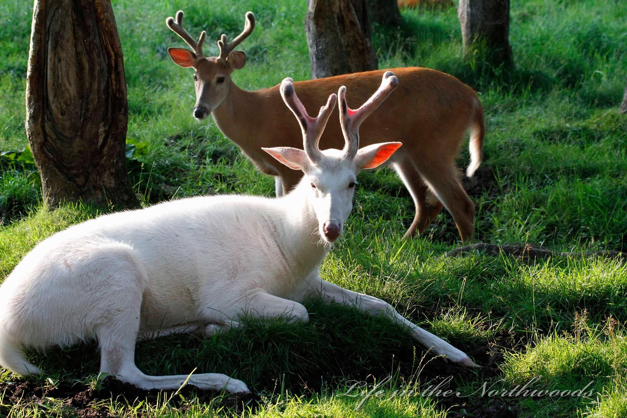 The Boys Of Summer Photo By Mike Crowley Albino Buck And A Brown Whitetail Deer Animals Beautiful Albino Deer Melanistic Animals