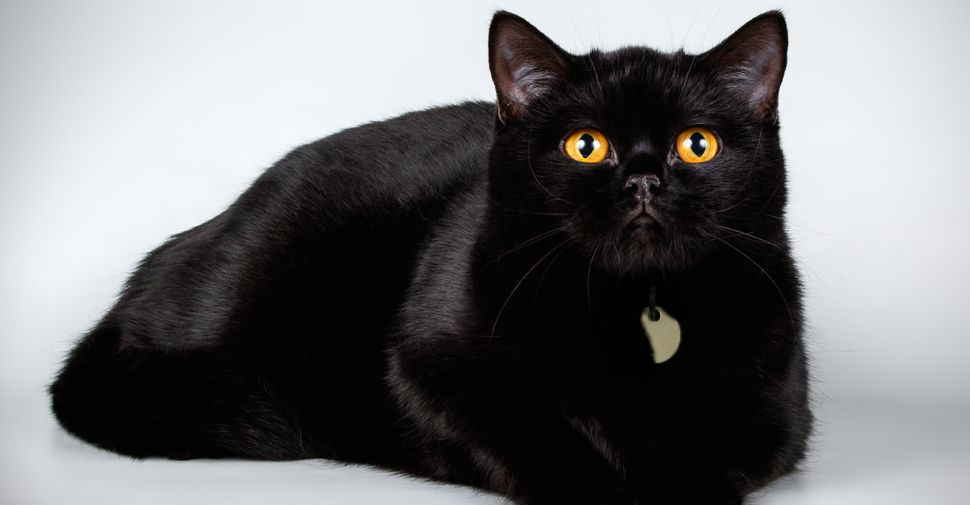 Shiny Black British Shorthair Cat With Yellow Eyes Lying Down And Looking Up At Camera On White Background Black Cat Breeds Cat Breeds Cat Adoption