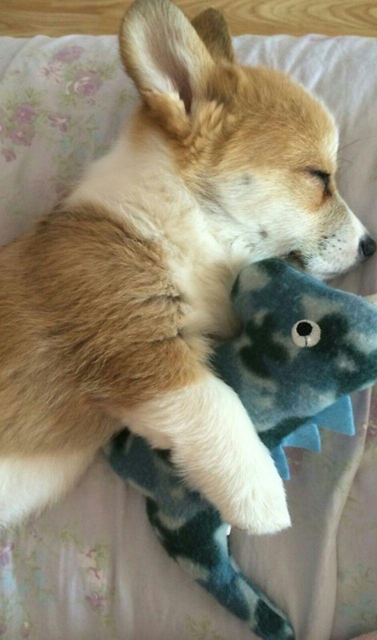 A puppy corgi who loves his stuffed dino. So cute!