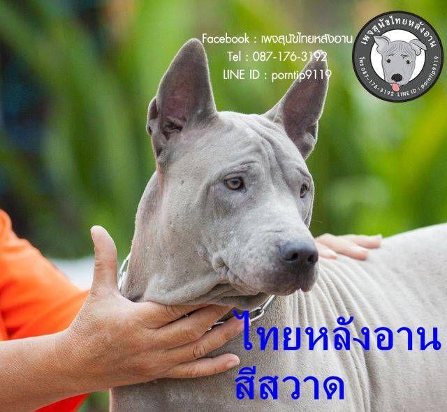 โทร0871763192ล กส น ขไทยหล งอานแท เกรดเอ ส น ขไทยหล งอาน หมาไทยหล งอาน