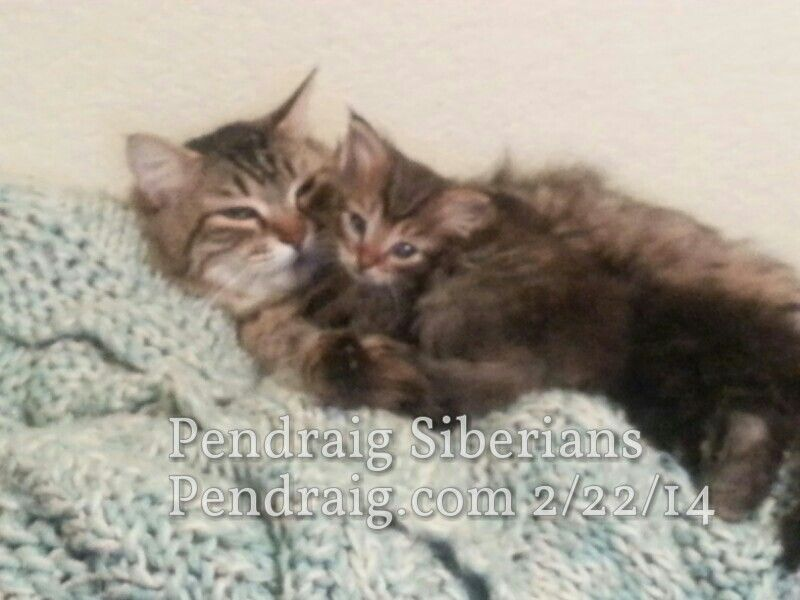 Available Male Siberian Kitten Carson And His Mom Http Siberian
