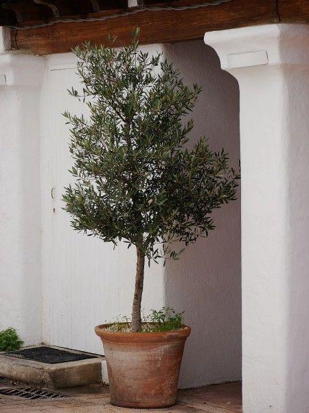 Einen Olivenbaum Umtopfen So Macht Ihr Es Richtig Olivenbaum Olivenbaumchen Olivenbaum Schneiden