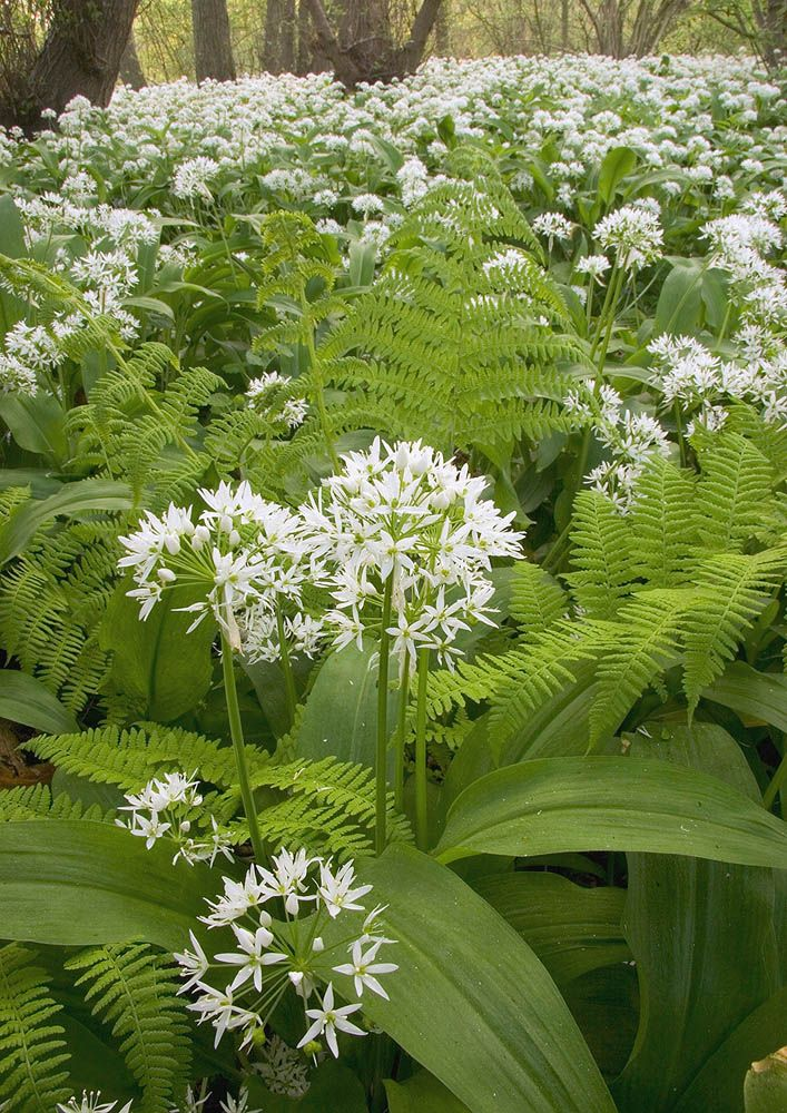 Allium Ursinum Ramsons Wild Flowers Species Emorsgate Seeds 01553 829 028 Meadow Garden Shade Garden Wild Flowers