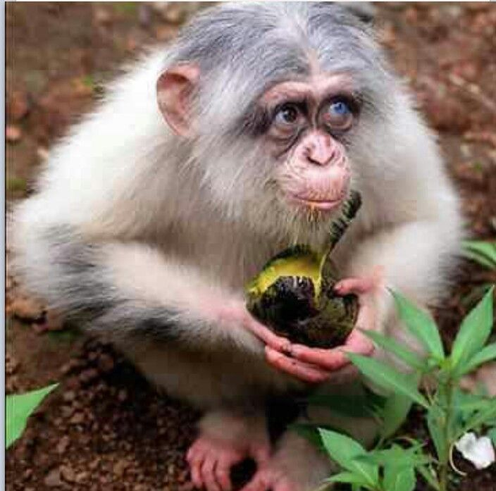Pinky, the world only Albino chimp, she also has one brown eye and one blue eye.