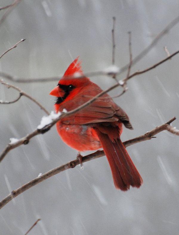 cardinal bird  |  mawdot.blogspot.com
