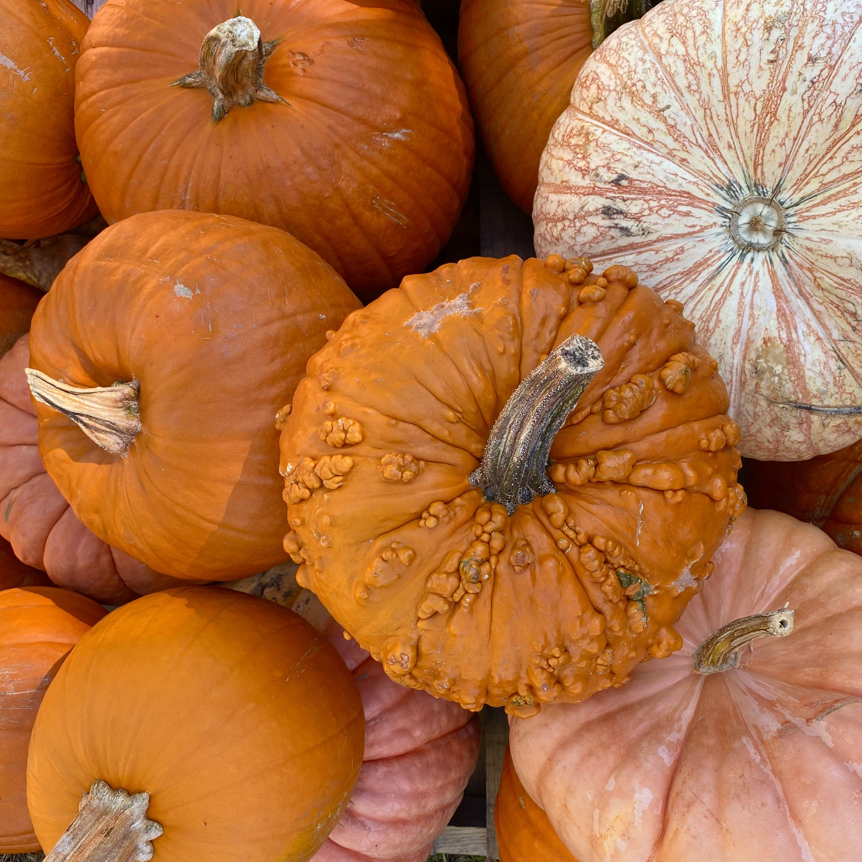 #pumpkinpicking #pumpkins #autumndecor #autumn #falldecorating #pumpkinseason #gourds #cooking #Halloweenpumpkins #Halloween #Thanksgivingdecor #pumpkinvarieties #fallvegetables #fallgardening #farmtotable