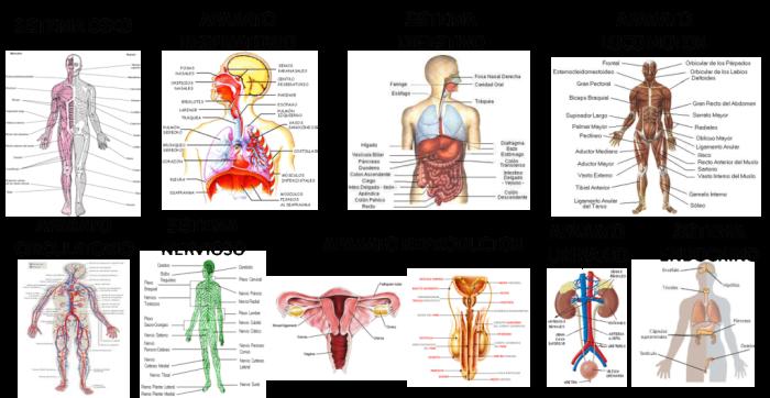 Los Sistemas Y Organos Que Componen El Cuerpo Humano Sistemas Del Cuerpo Humano Sistemas Del Cuerpo Cuerpo Humano Imagenes