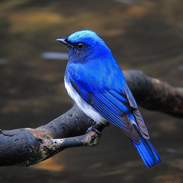 青い鳥@青い森 | 美しい鳥, ペットの鳥, 鳥の写真