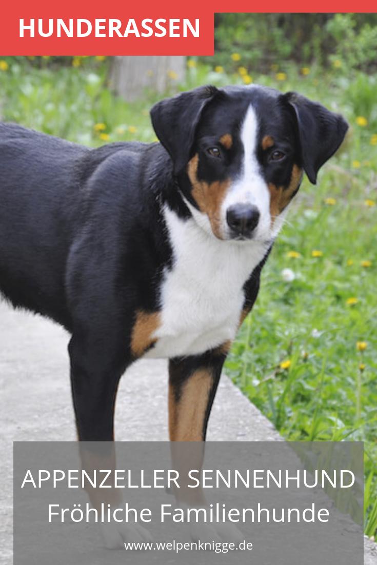 Appenzeller Sennenhund Welpen Sennenhund Appenzeller Hund Hunde