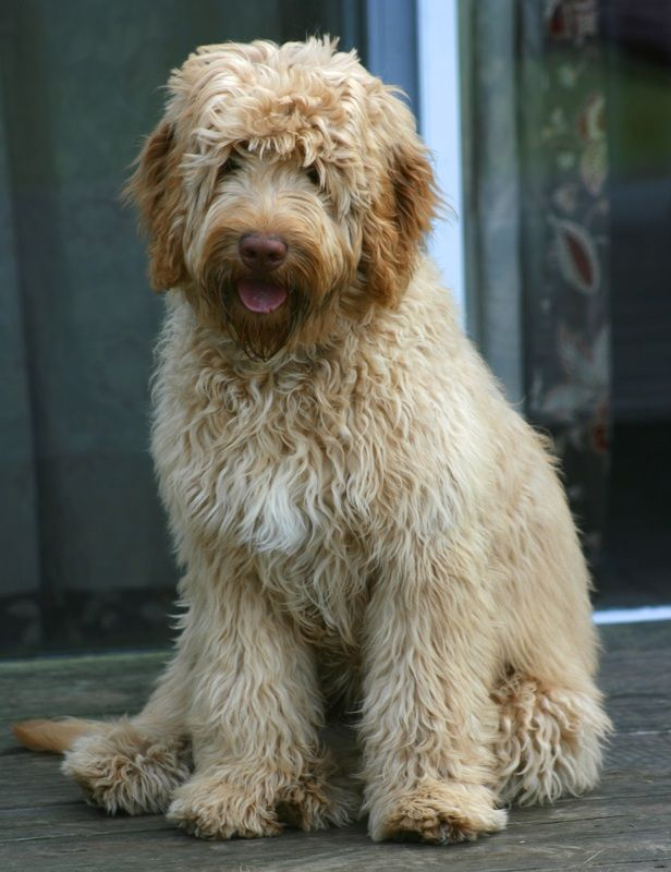 Serenity James Bond With His Tongue Out Dogs Goldendoodle