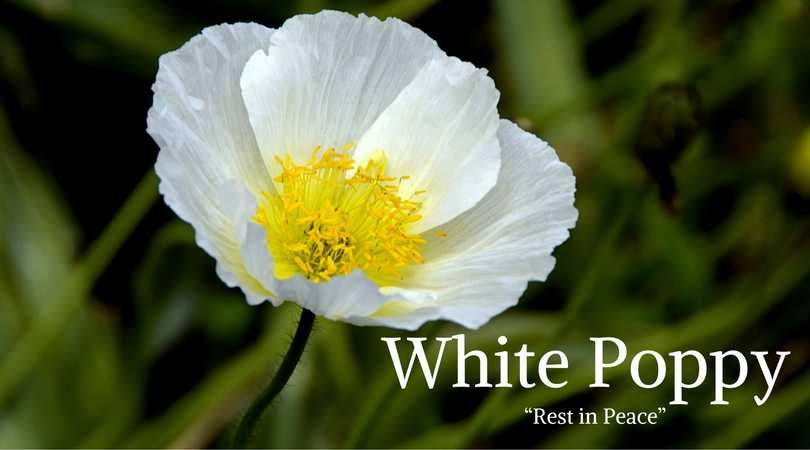 10 best funeral flowers funeral flower meanings pinterest funeral flower meanings white poppy meaning stick with red or white poppies when it comes to western affairs the other colours of poppies are not mightylinksfo