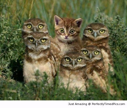 I am part of Owls group – The kitten tries to blend in with the group.