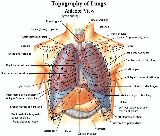topography of lungs | tmc exam (therapist multiple choice ... diagram of chest heart diagram of chest organs