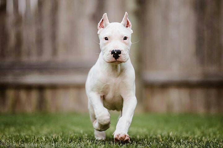 Dogo Argentino Puppy Dogs Dog Argentino Dog Breeds