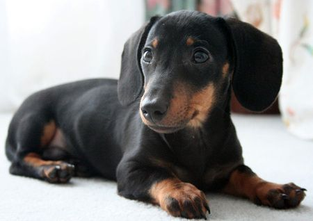 Black And Tan Puppy Dachshund Puppy Black Black And Tan