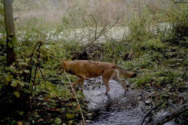 Camera Traps Reveal What's Happening As Wildlife Reclaims Chernobyl | IFLScience
