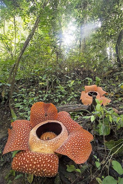 The world's largest plant (Rafflesia arnoldii) Large