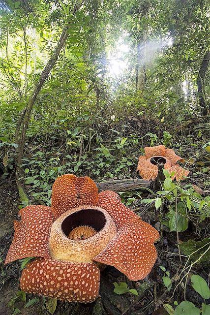 The world's largest plant (Rafflesia arnoldii) Large
