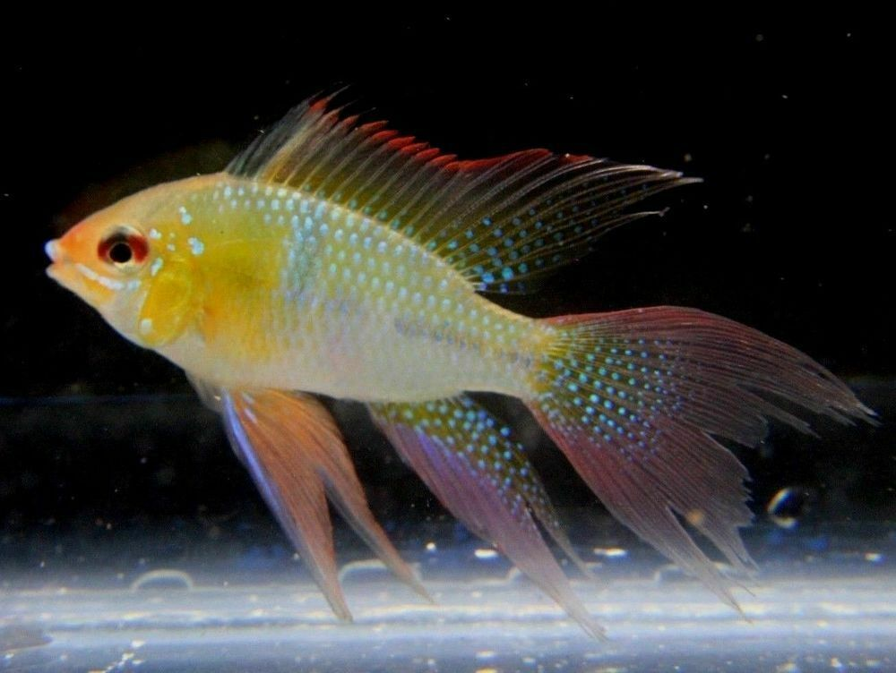 Longfin Blue Ram Cichlid For Sale The German Blue Ram Is A Color Variant Of The Extremely Popular Ram Cichlid T Tropical Fish Aquarium Cichlids Tropical Fish