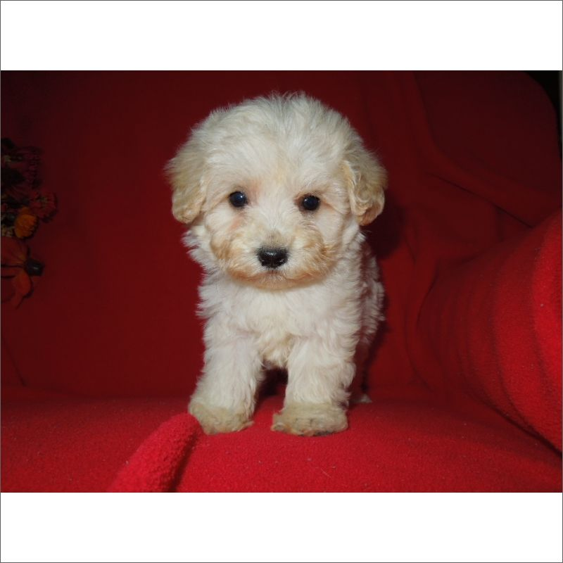 Maltese Poodle Toy Mix Puppy For Sale In Tucson Az Adn 52672