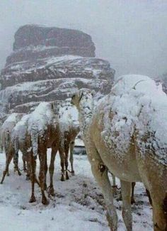 Snow Packed Camels In Israel Desert