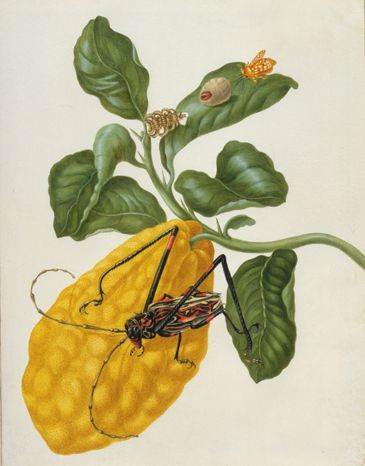Citron with a Moth and a Harlequin Beetle by Maria Sibylla Merian, ca.1701/2. Watercolour and bodycolour over pencil on vellum | Royal Collection Trust, ©Her Majesty Queen Elizabeth II, 2012