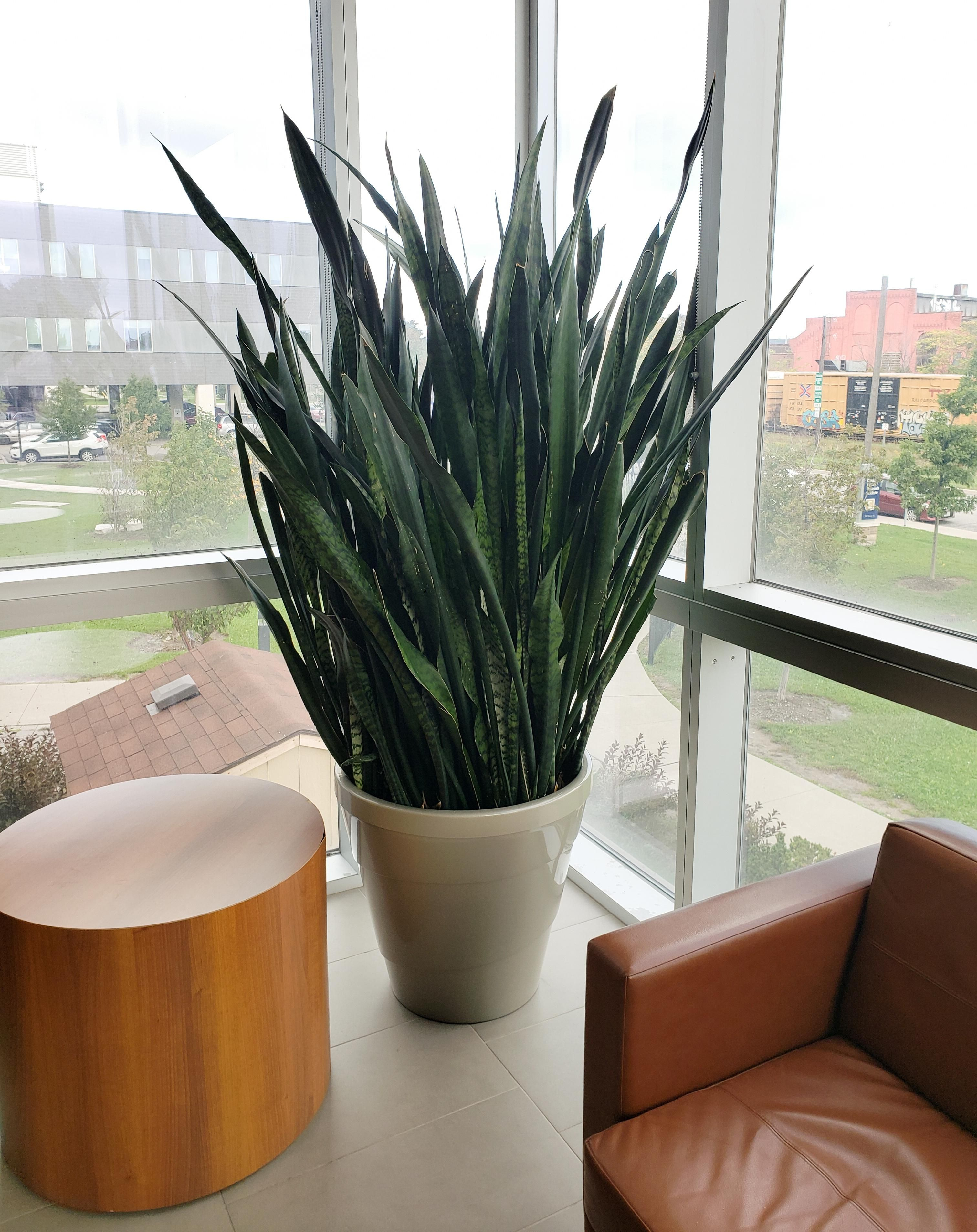 Giant snake plant that lives in my office inspirational indoor